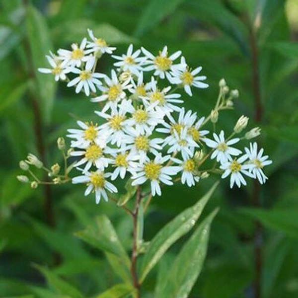 Wild Aster Plant  is routinely employed in wildflower gardens, along borders, and standalone beds.