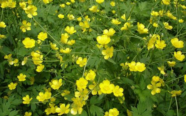 Creeping Buttercup plant has the ability to shed 20-50 seeds annually.