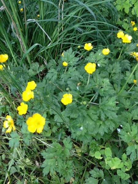Creeping Buttercup  sets down a robust root system that helps it thrive during uneven weather conditions.