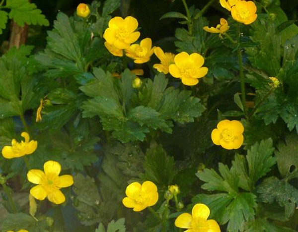 Creeping Buttercup  plants remains one of the more subtly attractive low-growing perennials that thrive in moist soils.