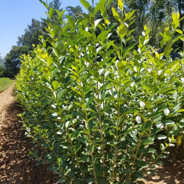Hill's privet plants are cold hardy and good for zones 3-9