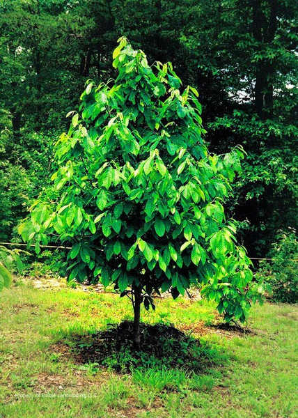 Paw Paw Tree an be integrated into a landscape and matured to its full potential height of 20-25 feet or deployed as a type of shrub with select pruning.