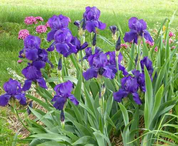 Perennial Grab Bag- 10 Plants Selected Perfect For Your Growing Zone provides you options to divide perennials to transplant elsewhere and allow breathing room to the older plants.
