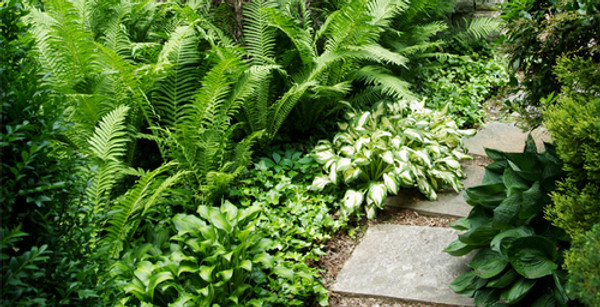 Fern Grab Bag - 25 Ferns Perfect For Your Growing Zone  do exceptionally well in wet forest floors, so they prefer growing in soil conditions that mimic this habitat—plants in moist but well-draining soil for best results.