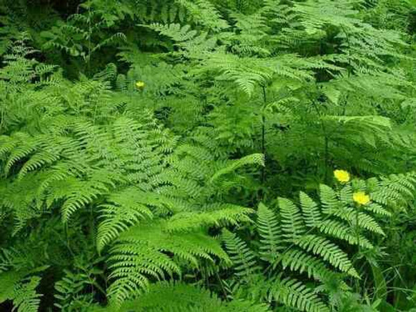Fern Grab Bag - 10 Ferns Perfect For Your Growing Zone  make excellent border plants in gardens that need help keeping a garden contained, can create a walkway, or help define the garden bed