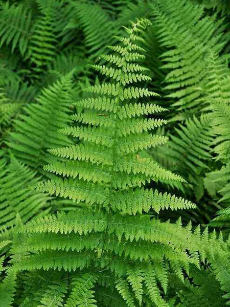 Fern Grab Bag - 10 Ferns Perfect For Your Growing Zone are non-flowering plants that offer amazing texture and versatility with their beautiful arching green fronds.
