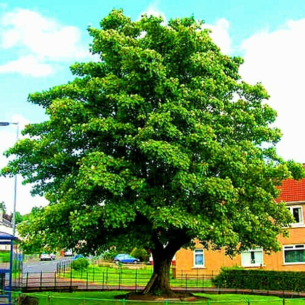 American Sycamore Tree appeals to property owners as a shade and acceptable wood source.