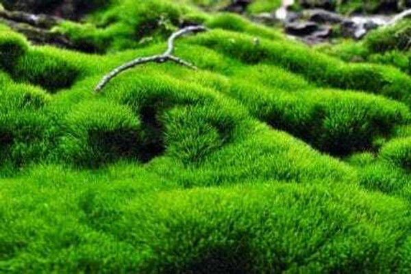 Shade Garden Moss  are not classified as fungi. Mosses are simple plants with tiny green leaves colored by chlorophyll.