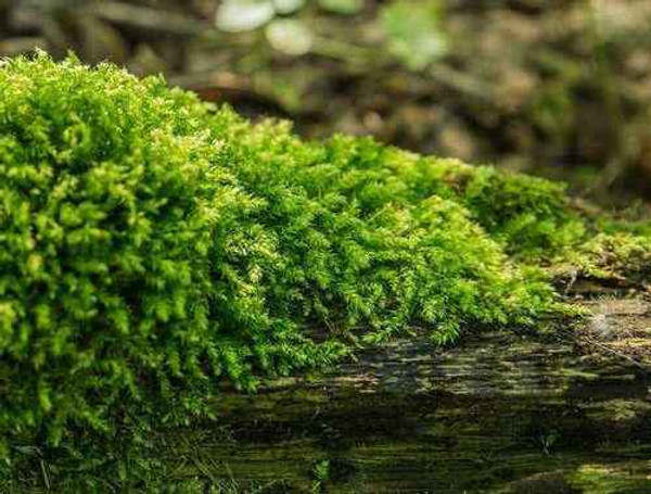 Shade Fern Moss  it is used by many songbirds as nesting material.