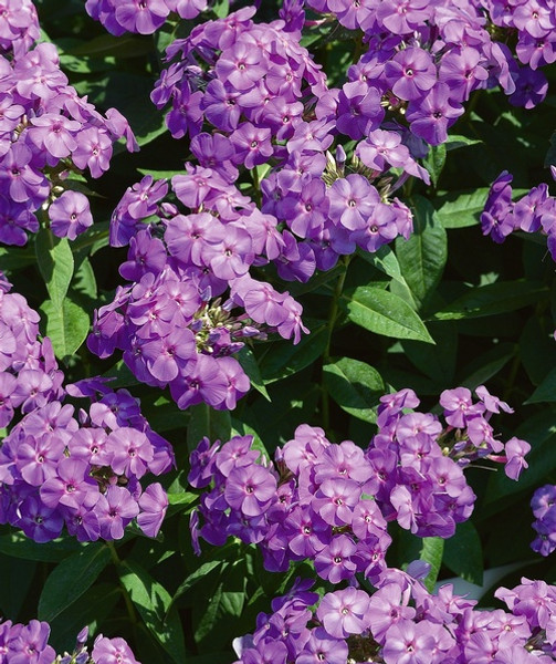 Largeleaf Phlox prefers moist, humus soil and grows well in the shade of trees.