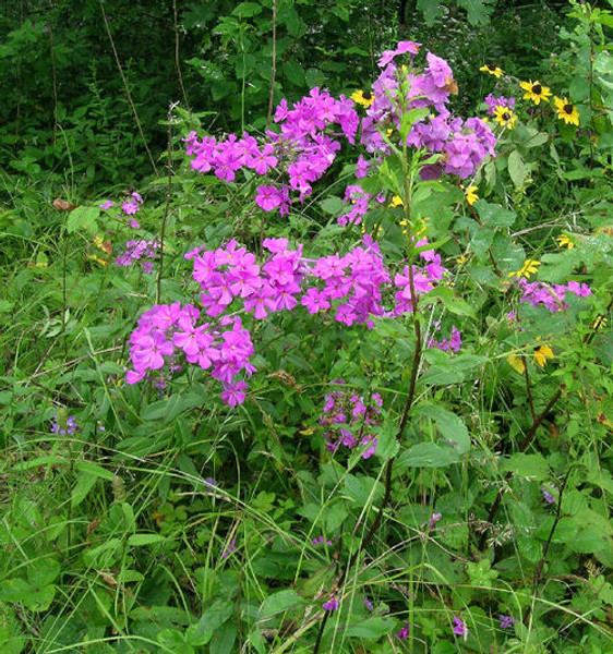 Largeleaf Phlox  has large leaves and showy pink flowers that bloom from late spring through early fall.