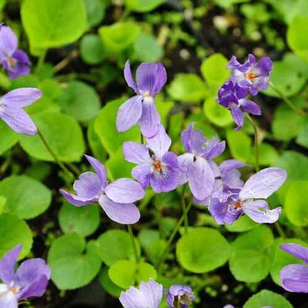 Purple Violets  helps with rheumatic conditions.