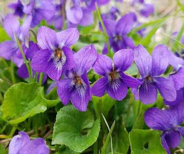 Purple Violets  works well as a diuretic, expectorant, and also anti-inflammatory