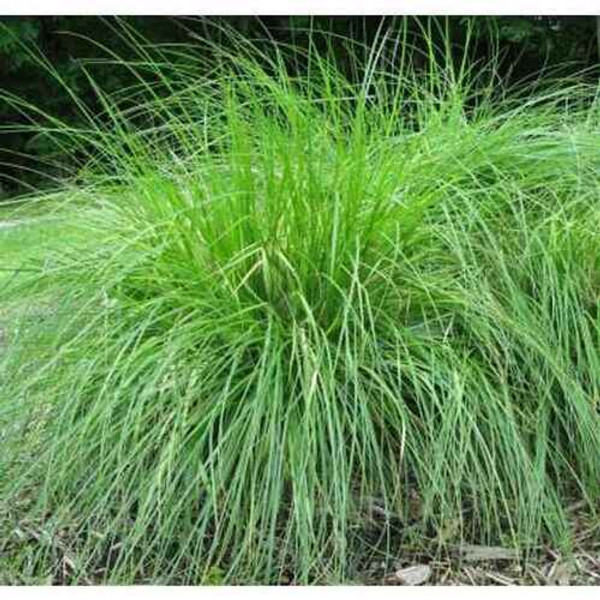 Carex Appalachian can quickly grow to be as tall as a whole foot in height with approximately eight inches of spread, giving it a lush and soft appearance with how excellent its grasses look.