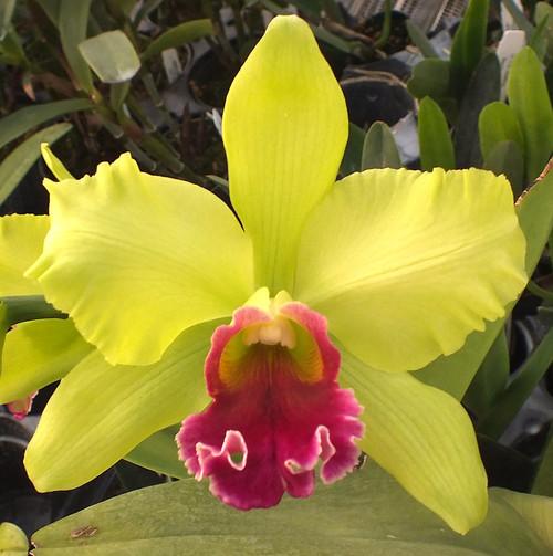 Blc. Mem. Helen Brown x Schom. grandiflora.