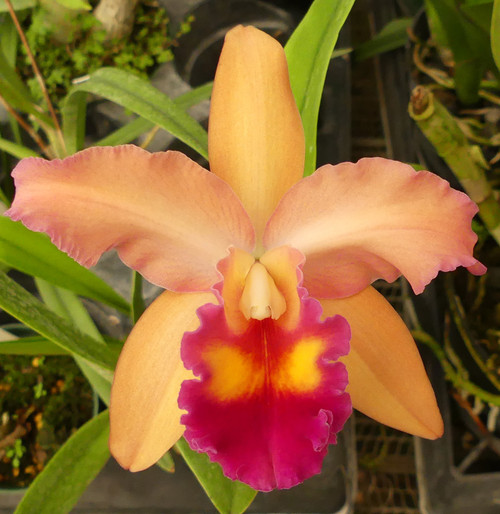 Blc. Toshie Magic x Blc. Bouton D'or.
