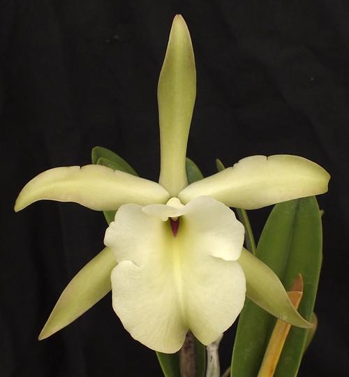 Rhyncholaelia (Brassavola) glauca.