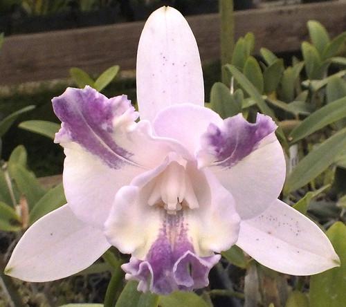 C. intermedia v. aquinii coerulea.