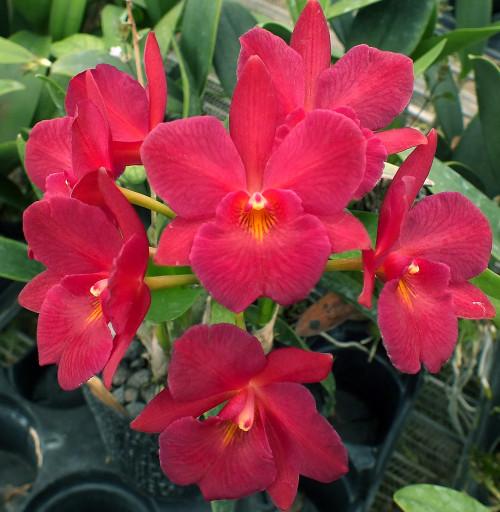 Ctna. Mem. Henry Goldberg 'Odom's Orchids'.