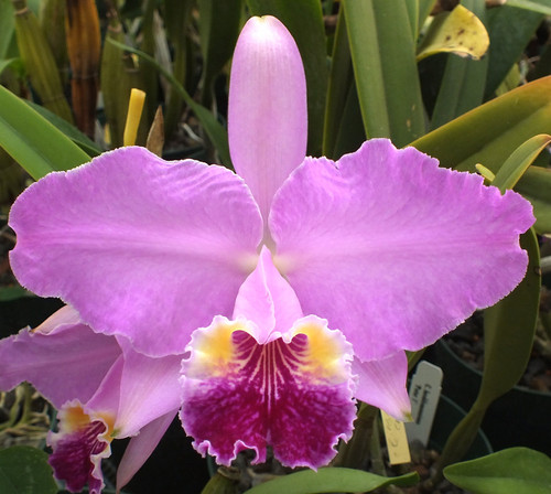 C. lueddemanniana 6.