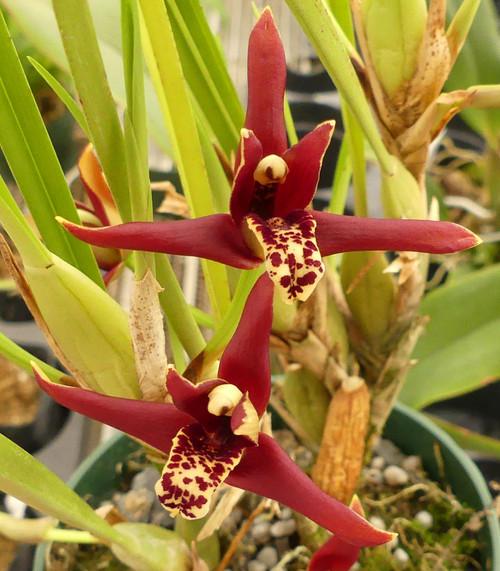Maxilliara tenuifolia.