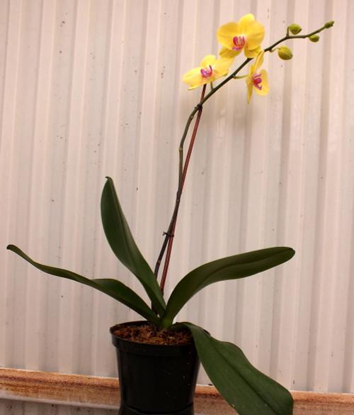 Phalaenopsis Orchid in Bud.