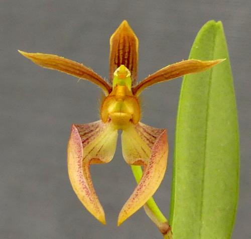 Bulbophyllum lasiochilum x sib.