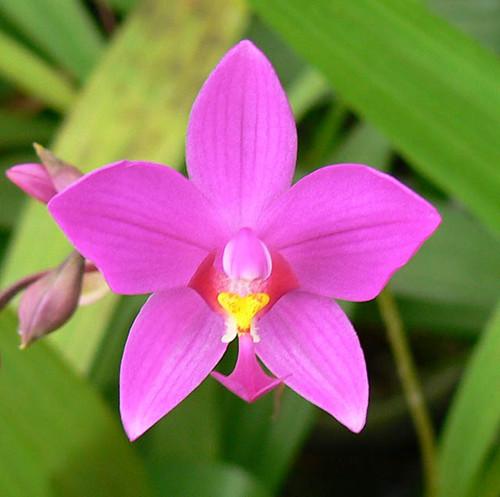 Spathoglottis plicatum.