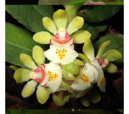 Gastrochilus japonicus.