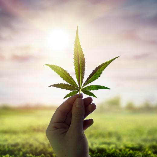 Hemp Plants vs. Cannabis Plants: Extraction of CBD and Benefits