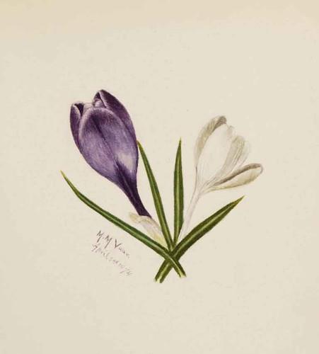 Crocuses Mary Vaux Walcott