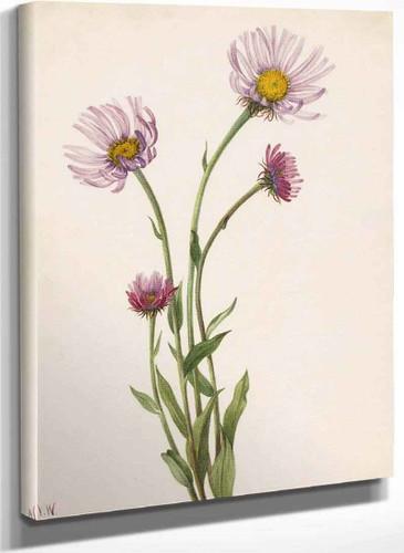 Alaska Fleabane (Erigeron Salsuginosus) By Mary Vaux Walcott