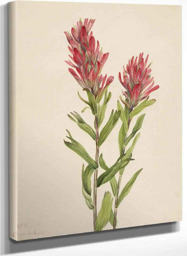 Alberta Paintbrush (Catilleja Miniata) By Mary Vaux Walcott