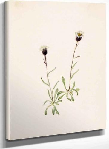 Aleutian Fleabane (Erigeron Unalaschensis) By Mary Vaux Walcott