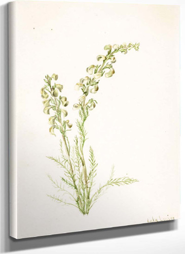 Alpine Fernlife (Pedicularis Contorta) By Mary Vaux Walcott