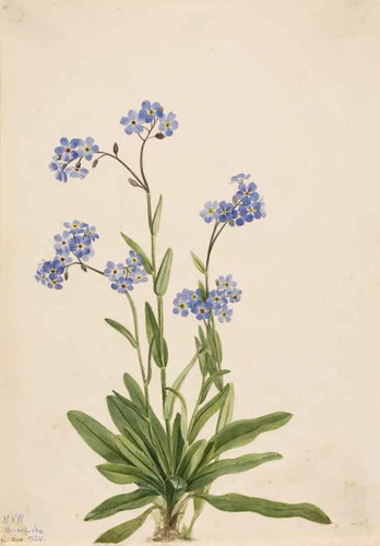 Alpine Forget Me Not (Myosotis Alpestris) I By Mary Vaux Walcott