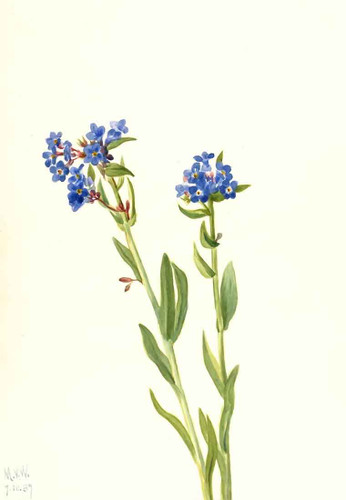 Alpine Forget Me Not (Myosotis Alpestris) By Mary Vaux Walcott