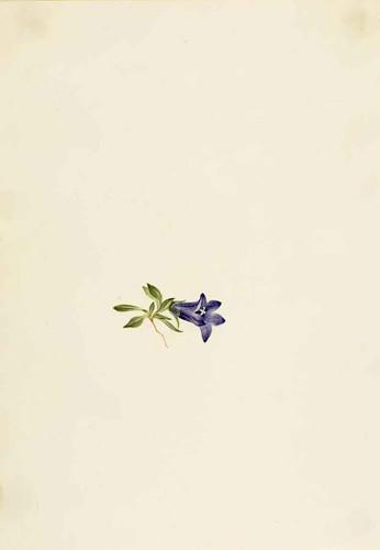 Alpine Harebell (Campanula Lasiocarpa) By Mary Vaux Walcott