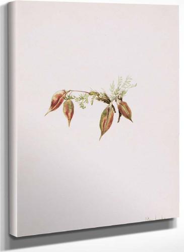 Alpine Pointvetch (Oxytropis Podocarpa) By Mary Vaux Walcott