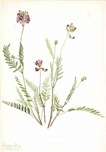 Alpine Vetch (Astragalus Bourgovii) By Mary Vaux Walcott