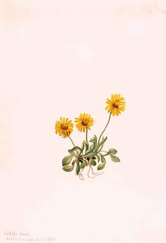 Golden Fleabane (Erigeron Aureus) By Mary Vaux Walcott