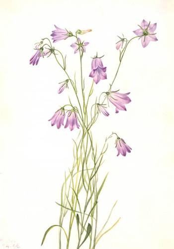 Harebell (Campanula Rotundifolia) By Mary Vaux Walcott