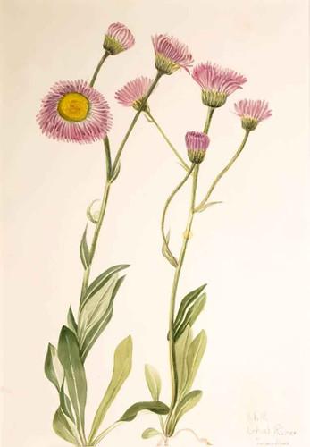 Meadow Fleabane (Erigeron Speciosus) By Mary Vaux Walcott