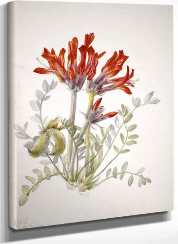 Scarlet Loco (Astragalus Coccineus) By Mary Vaux Walcott