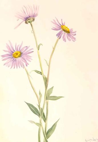 Showy Fleabane (Erigeron Salsuginosus) By Mary Vaux Walcott