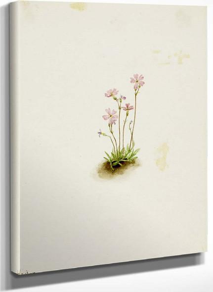 Alberta Primrose (Primula Maccalliana) By Mary Vaux Walcott