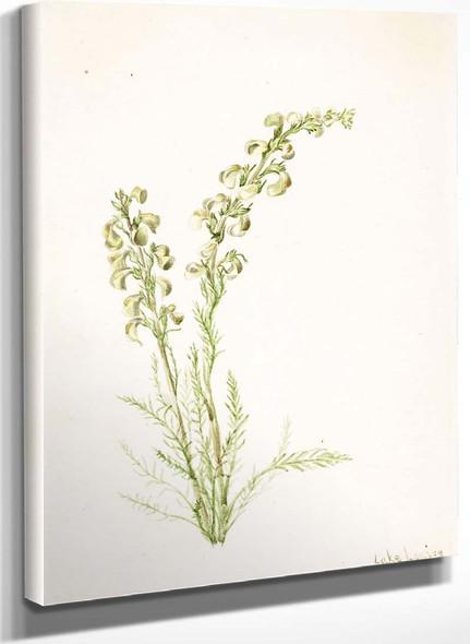 Alpine Fernlife (Pedicularis Contorta) By Mary Vaux Walcott