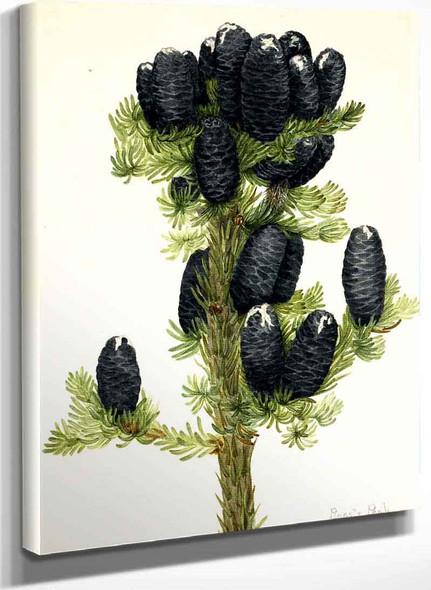 Alpine Fir (Abies Lasiocarpa) By Mary Vaux Walcott
