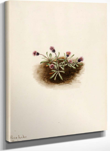 Alpine Fleabane (Erigeron Unalaschcensis) By Mary Vaux Walcott