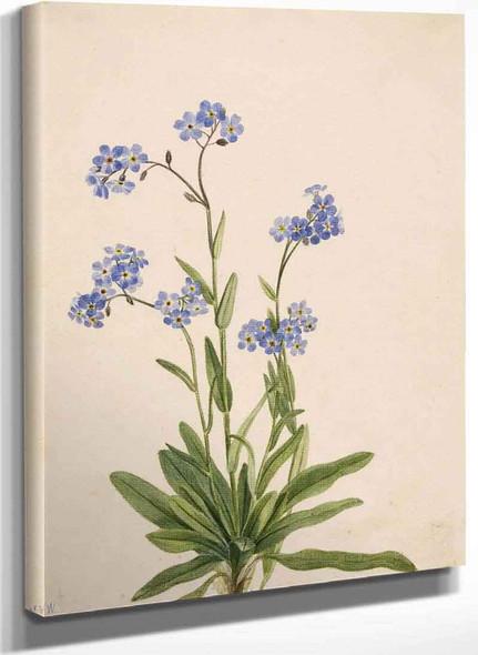 Alpine Forget Me Not (Myosotis Alpestris) I By Mary Vaux Walcott